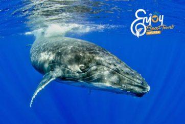 Baleine à bosses Moorea